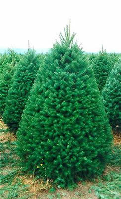 Holiday Plantation Douglas Fir (pseudotsuga menziesii)