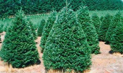 Grand Fir Christmas Tree (abies grandis)