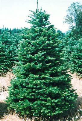 Plantation Noble Fir (Abies procera Rehd.)
